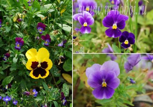 Анютины глазки цветы